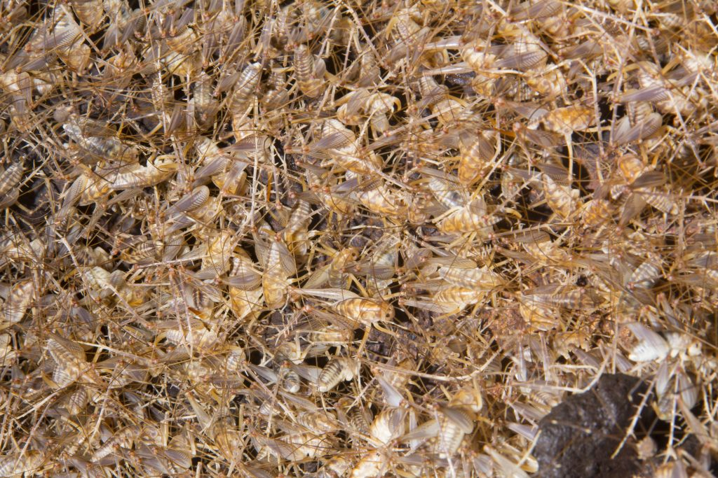 Crickets at Cricket Crap Cave